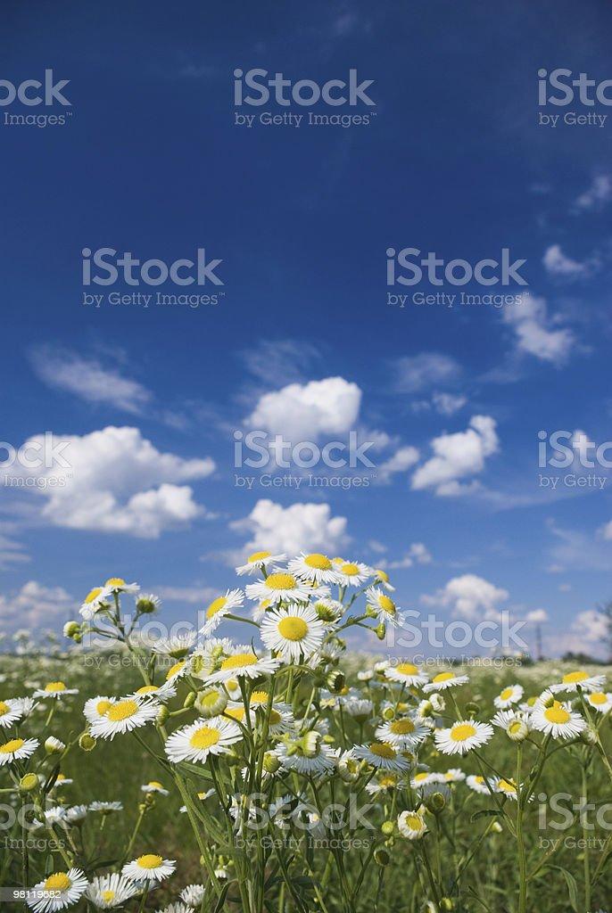 chamomile royalty-free stock photo