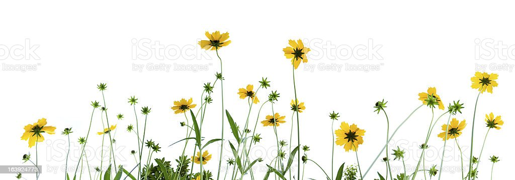 Chamomile Plant stock photo