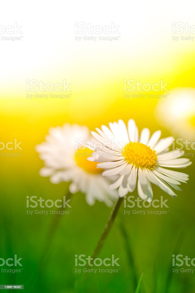 Chamomile plants in meadow during sunset or sunrise stock photo