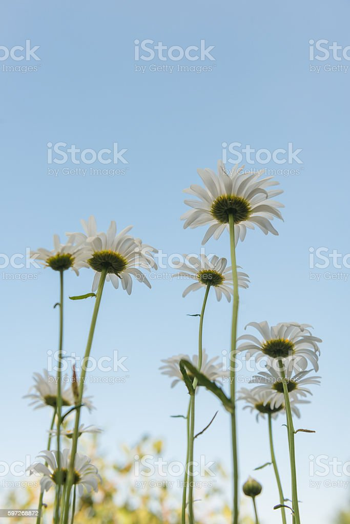 Chamomile view of the sky from the bottom photo libre de droits