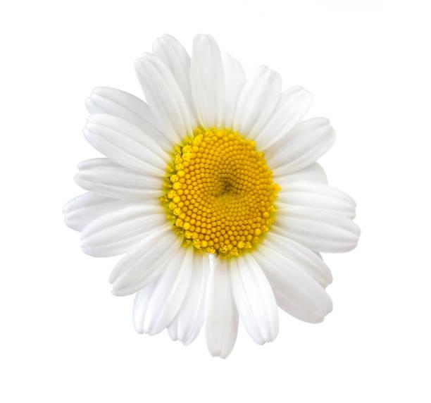 chamomile white flower isolated on white background stock photo