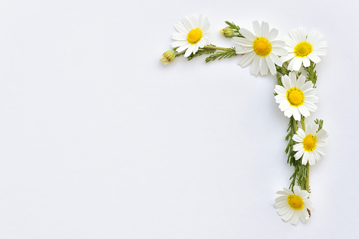 Chamomile wildflowers arranged on a white background in a frame