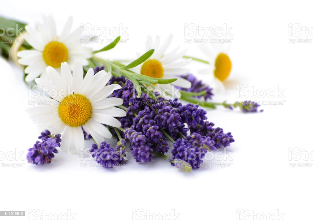 Chamomiles and lavender flowers on white background stock photo