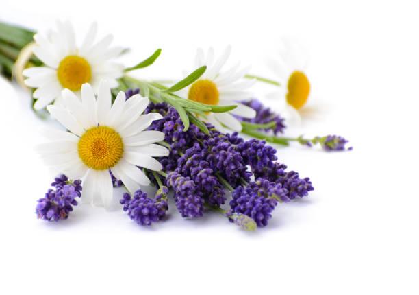 chamomiles y flores de lavanda sobre fondo blanco - planta de manzanilla fotografías e imágenes de stock