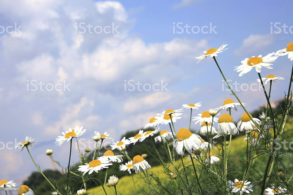 Chamomiles (camomile ) and sky. royalty-free stock photo
