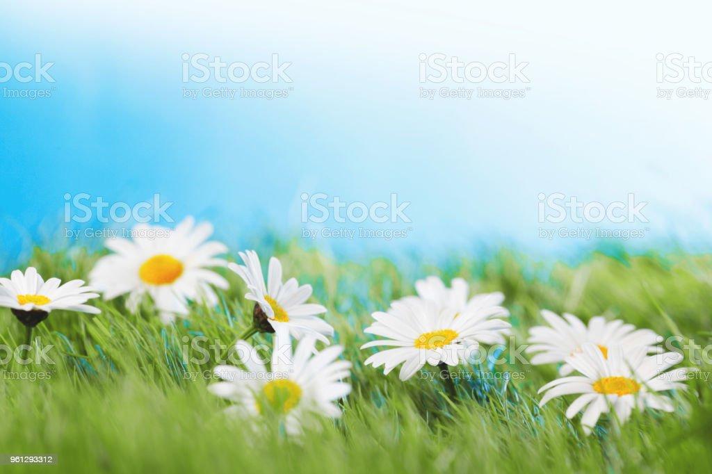 chamomiles  in grass stock photo