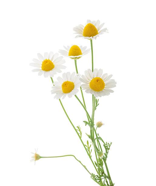 chamomiles aislado en blanco background. abertura - planta de manzanilla fotografías e imágenes de stock