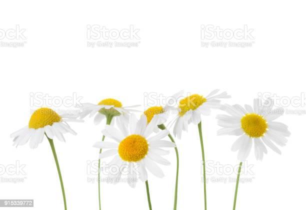 Chamomiles isolated on white background matricaria chamomilla picture id915339772?b=1&k=6&m=915339772&s=612x612&h=0wxze4mzcigpdp1qdzn58z5idusz zgenklfp0bureg=