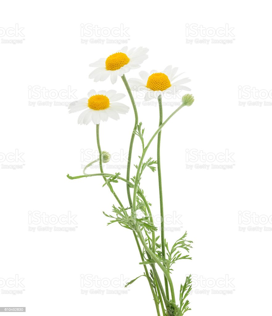 Chamomiles isolated on white background. without shadow stock photo