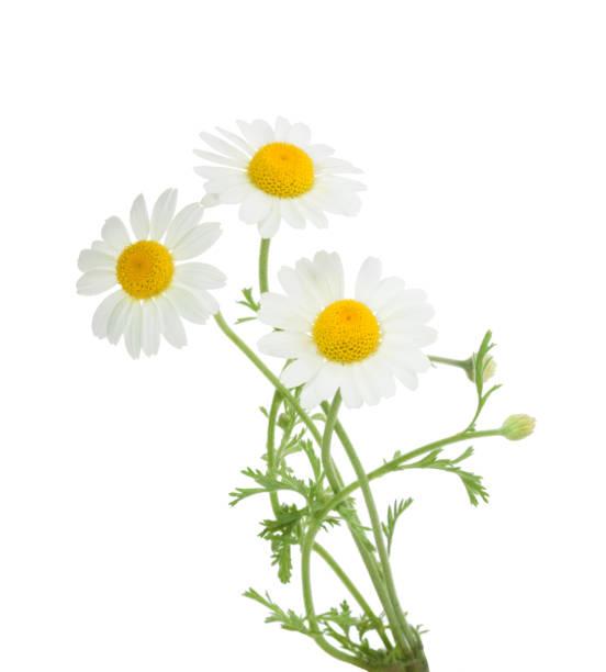 chamomiles aislado sobre fondo blanco, sin sombras - planta de manzanilla fotografías e imágenes de stock