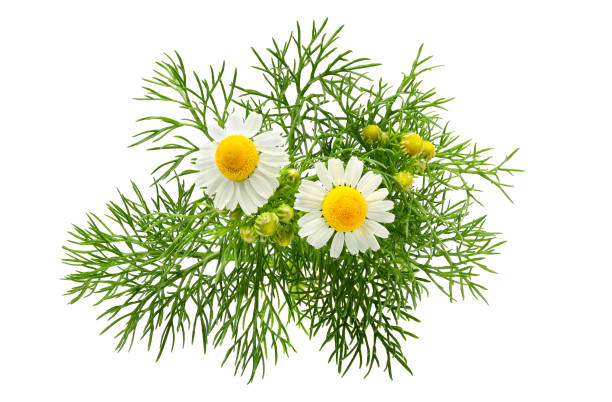 chamomiles, matricaria aislado. - planta de manzanilla fotografías e imágenes de stock