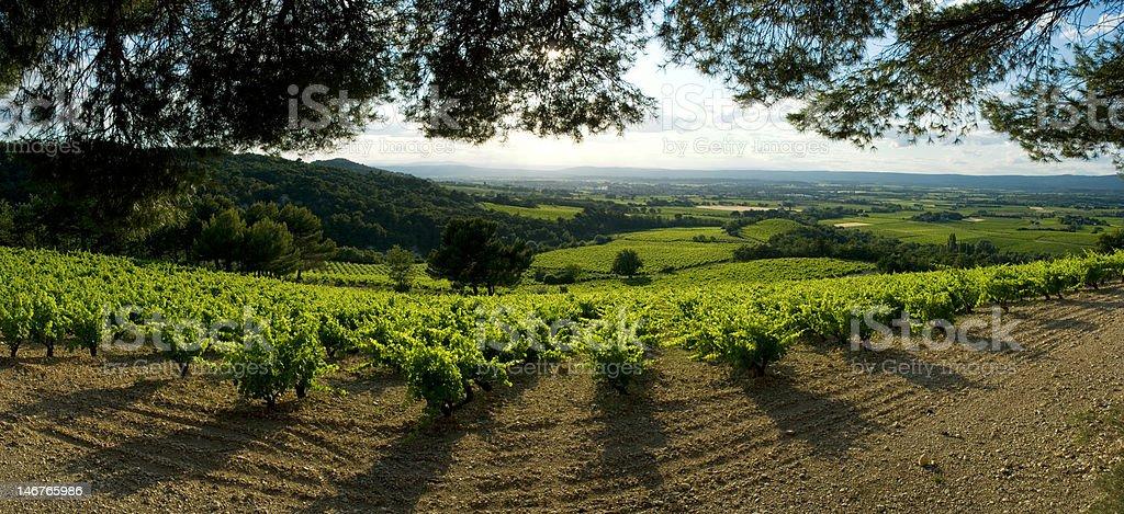 champ de vigne panoramique stock photo