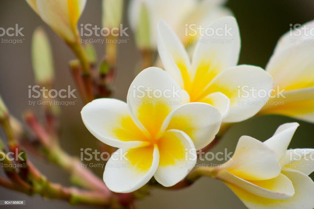 Champa flower stock photo