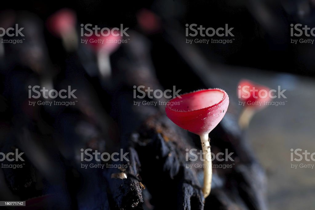 champagne mushroom royalty-free stock photo