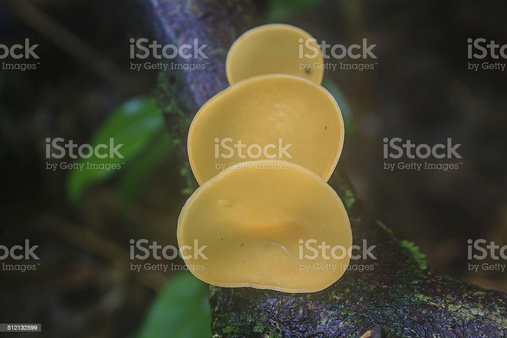 Champagne mushrooms (Fungi Cup) stock photo