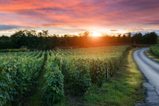champagner weinberge bei sonnenuntergang montagne de reims, frankreich - bordeaux wein stock-fotos und bilder