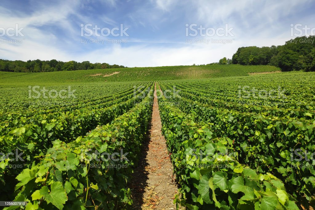Champagne vineyards in Chateau-Thierry Vineyard in Chateau-Thierry, a town in the Champagne wine region. Agricultural Field Stock Photo