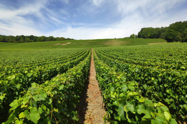 Champagne vineyards in Chateau-Thierry stock photo