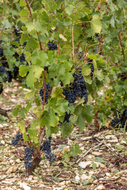Champagne vineyards in the Cote des Bar area of the Aube department. France