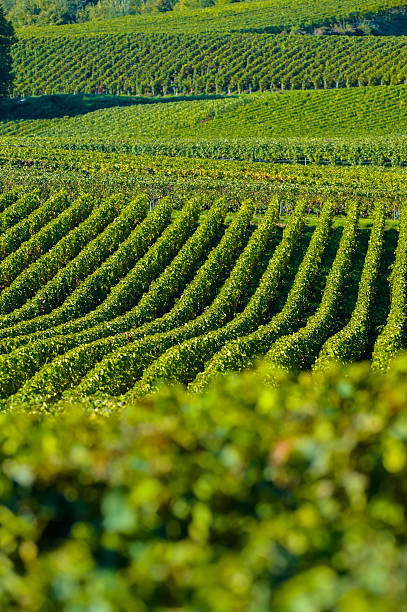 Champagne vineyards Sermiers in Marne department, France Champagne vineyards Villedomange in Marne department, Champagne-Ardennes, France, Europe marne stock pictures, royalty-free photos & images