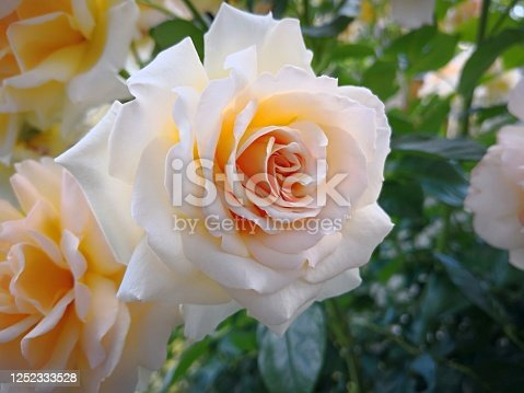 Amazing game of warm shades of pink, cream and orange in one majestic rose. Romantic background for positive emotions. Idea for wedding bouquet or decoration for marriage