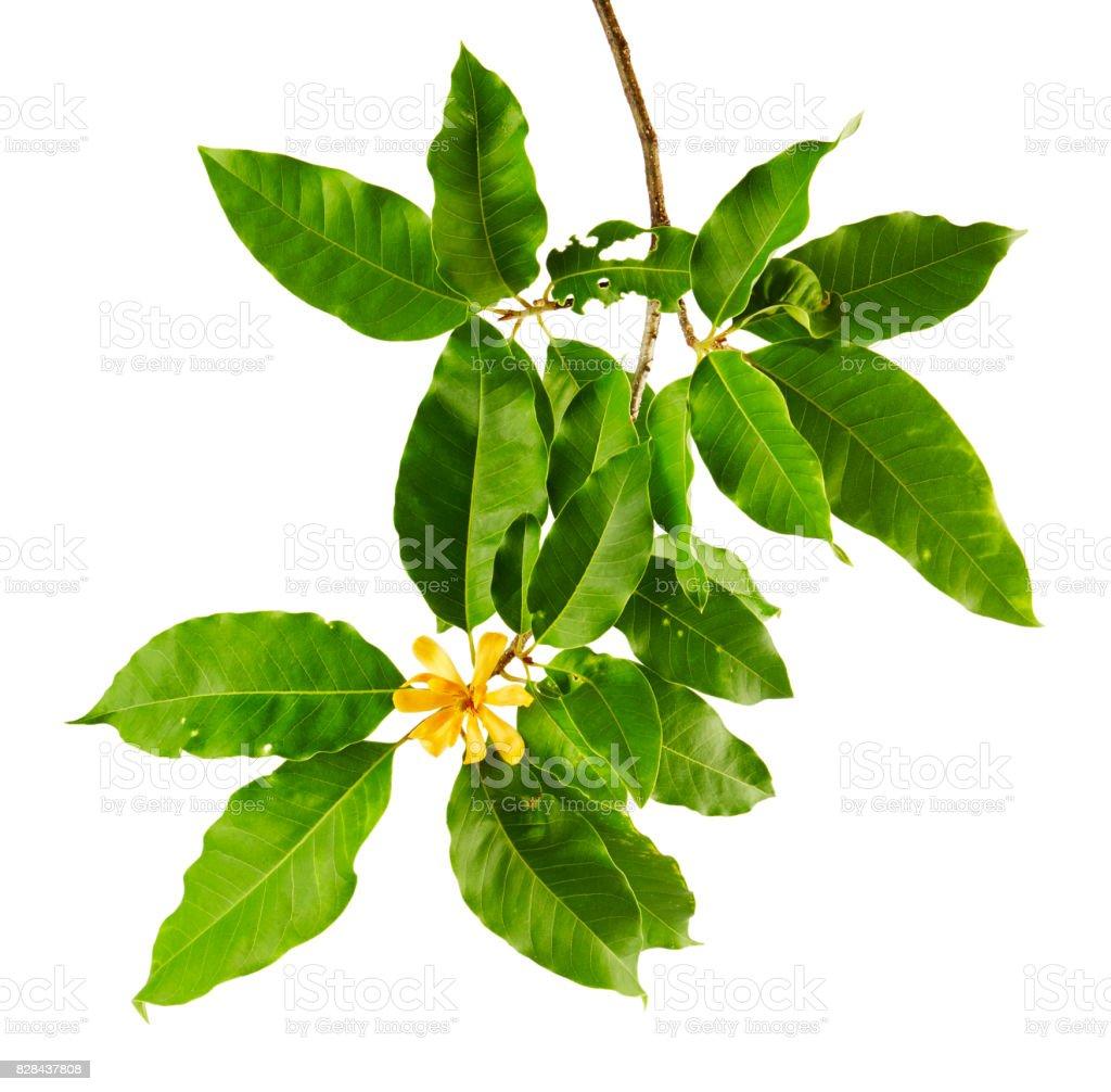 Champak Flower Magnolia Champaca Fragrant Yellow Flower Blooming On