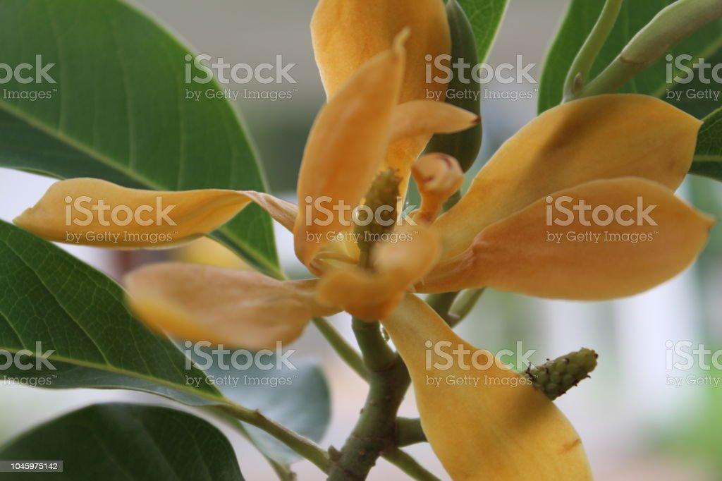 Champak Or Magnolia Champaca Flower Blooming On Tree Stock Photo