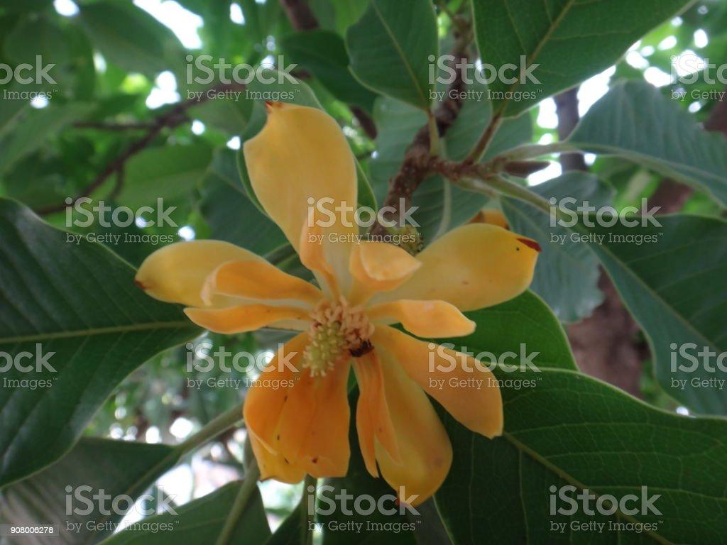 Champak - Yellow or orange flower stock photo