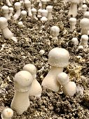 Closeup photo of a group of different sized white Champignons de Paris mushrooms growing in compost in a limestone cave in the Loire Valley in France