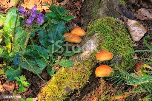 Champignons de souche - Forêt du Conflent - France