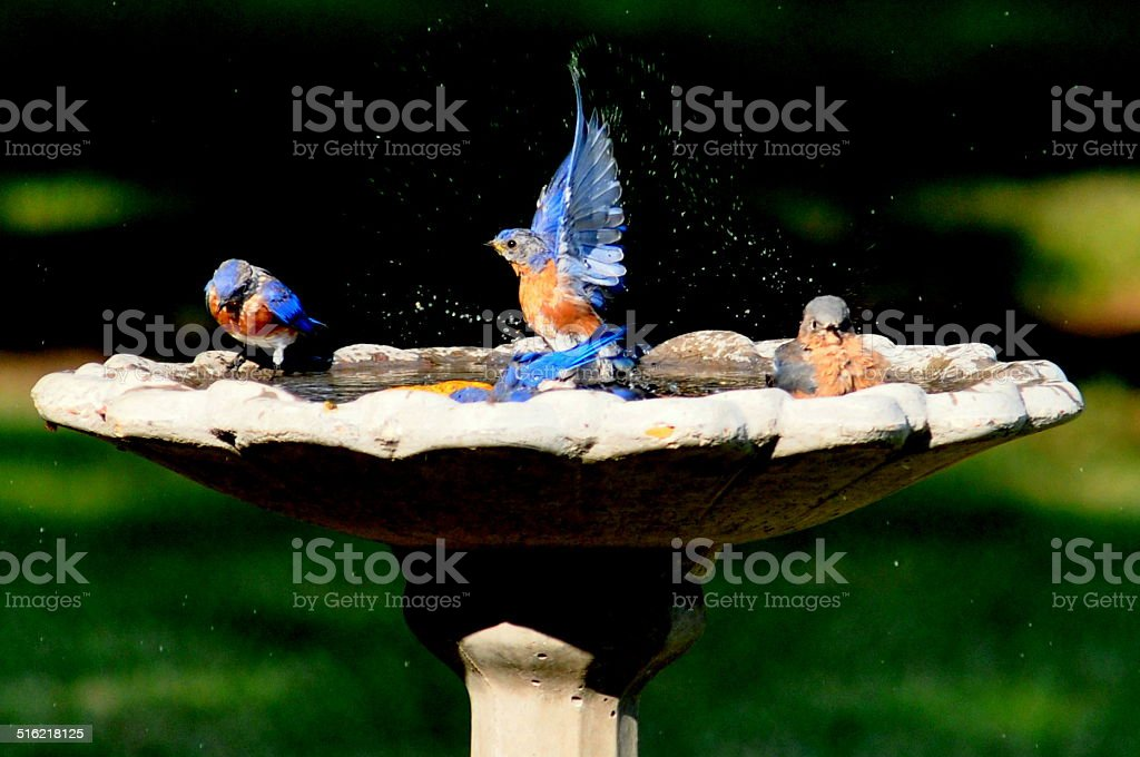 Champion Bluebird stock photo