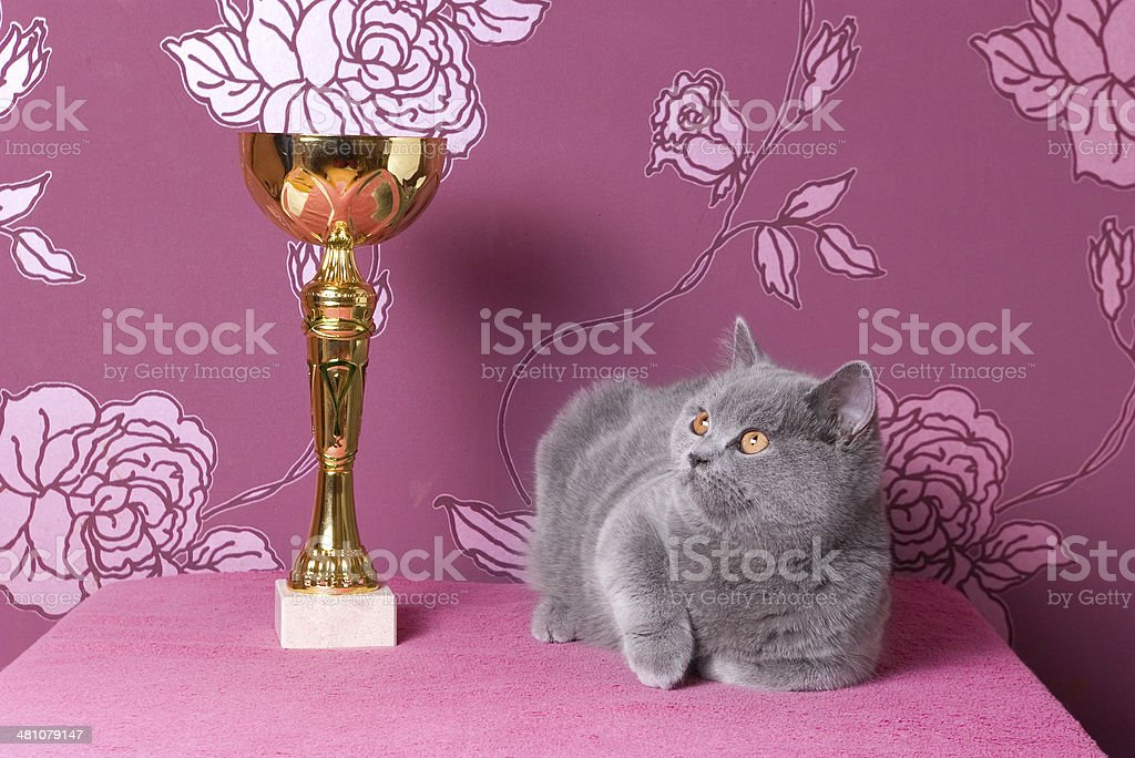 champion british shorthair kitten with a cup stock photo