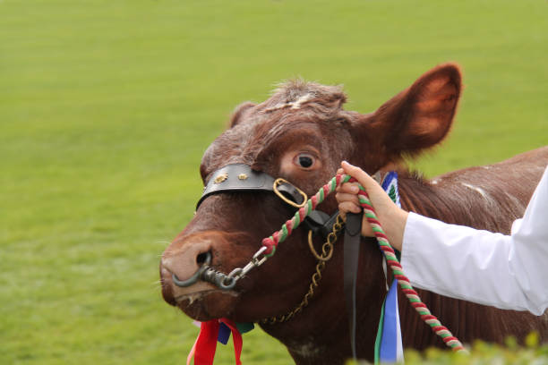 champion bull. - cud stock pictures, royalty-free photos & images