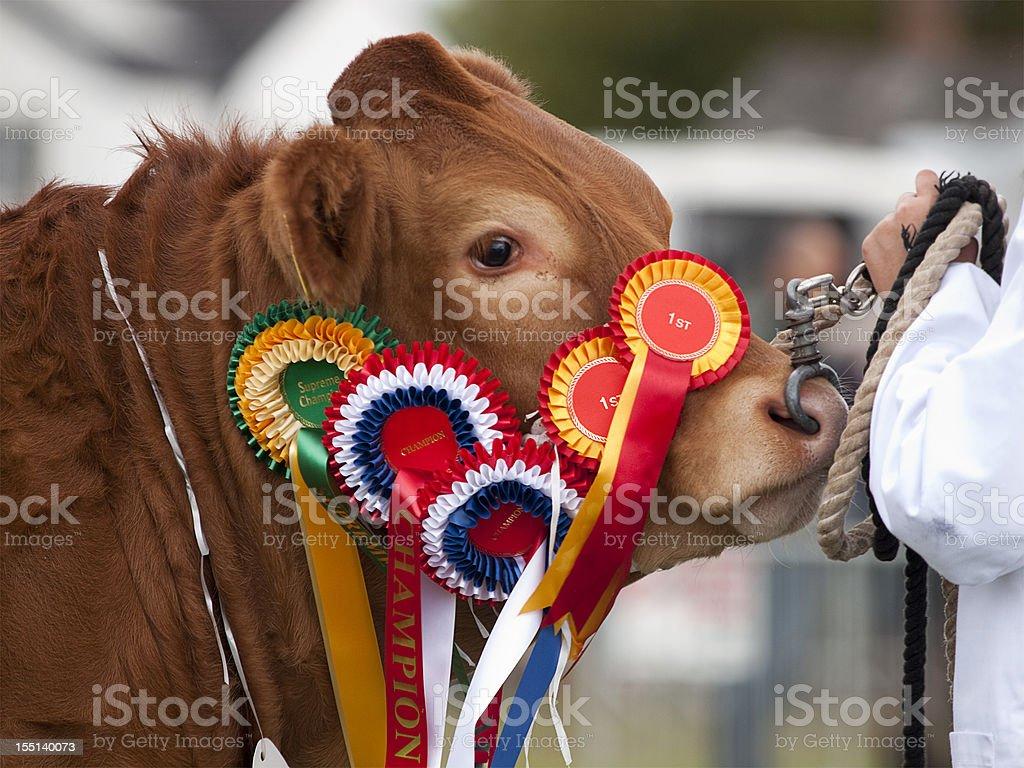 Champion Heifer royalty-free stock photo