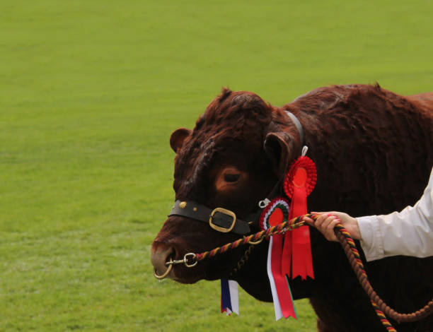 championship farm beef bull - cud stock pictures, royalty-free photos & images