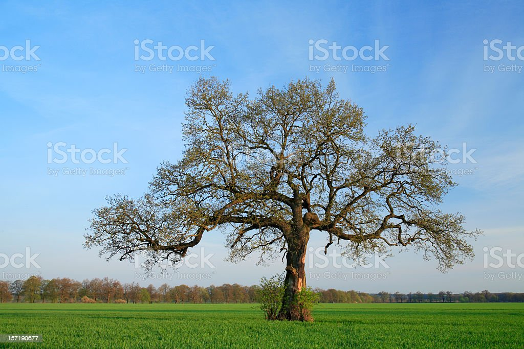 Chandelier Oak royalty-free stock photo