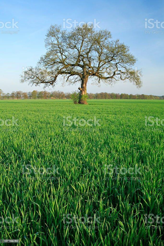 Chandelier Oak royalty-free stock photo