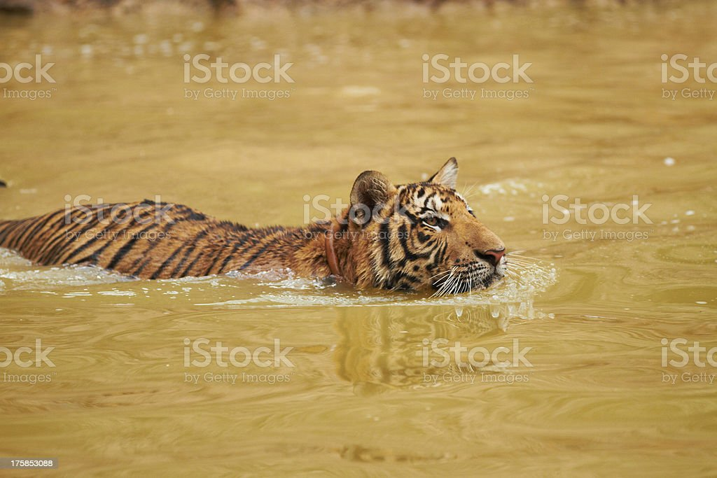 Changes in terrain don't stop this predator royalty-free stock photo