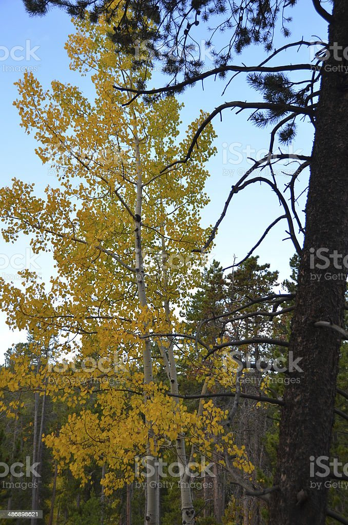 Changing aspen tree colors against the blue sky stock photo