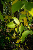 Leaves are changing colour at the assiniboine forest in the autumn season