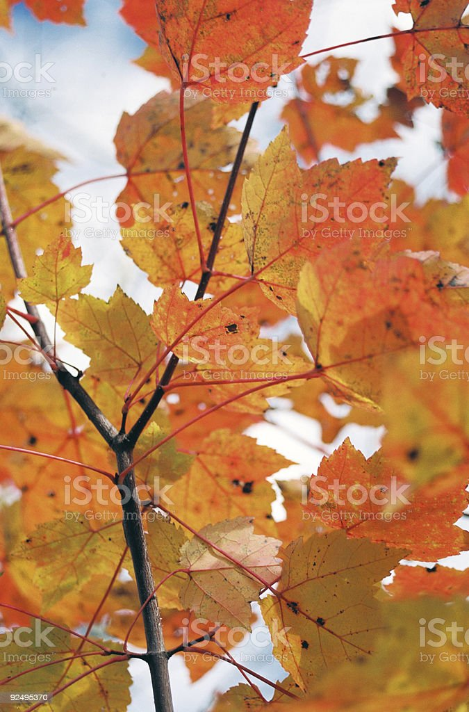 Changing leaves during Autumn in Minnesota royalty-free stock photo