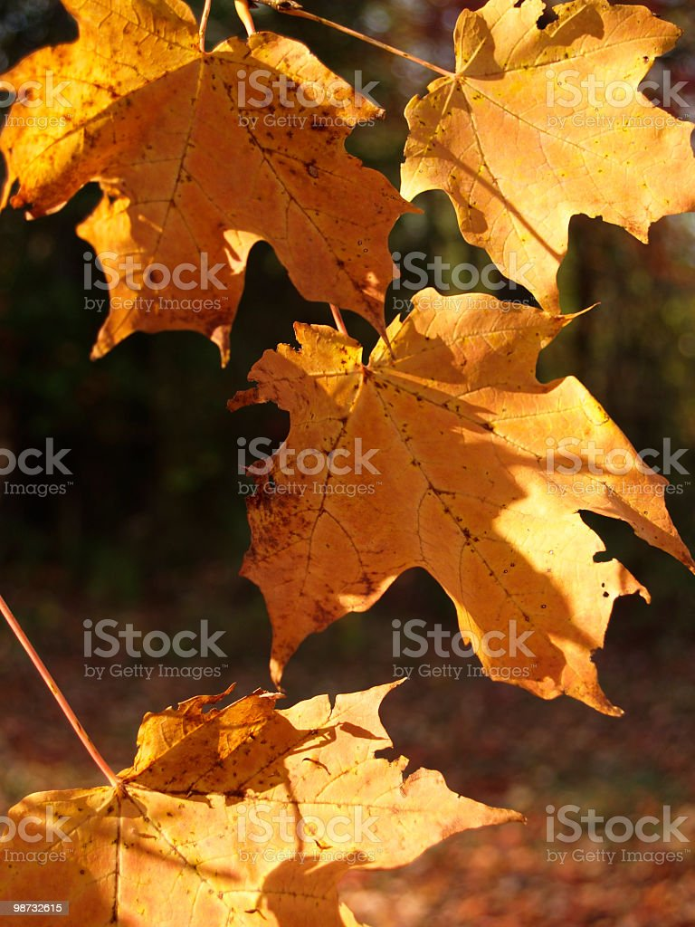 changing leaves royalty-free stock photo