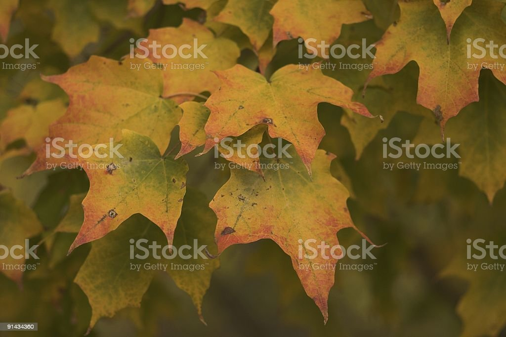 Changing Maple royalty-free stock photo