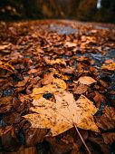 Fallen autumn foliage. Close-up image of brown-orange autumn fallen leaves