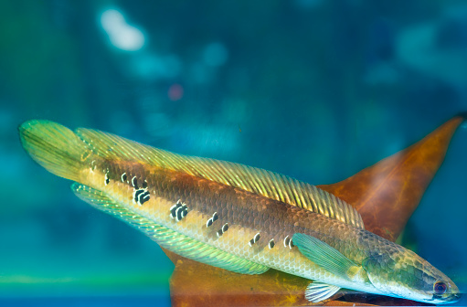 Channa maculata swimming in fish tank. An omnivorous fish that lives in the Mekong Delta is used to feed farmers during floods