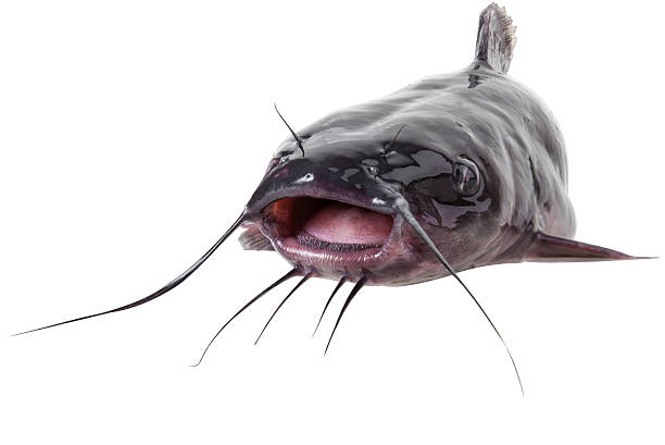 Channel catfish Channel catfish catfish close up, isolated on white background with clipping paths sea channel stock pictures, royalty-free photos & images