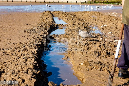 932662672 istock photo channel dug searching for lug worm fishing bait on a beach 1015618210