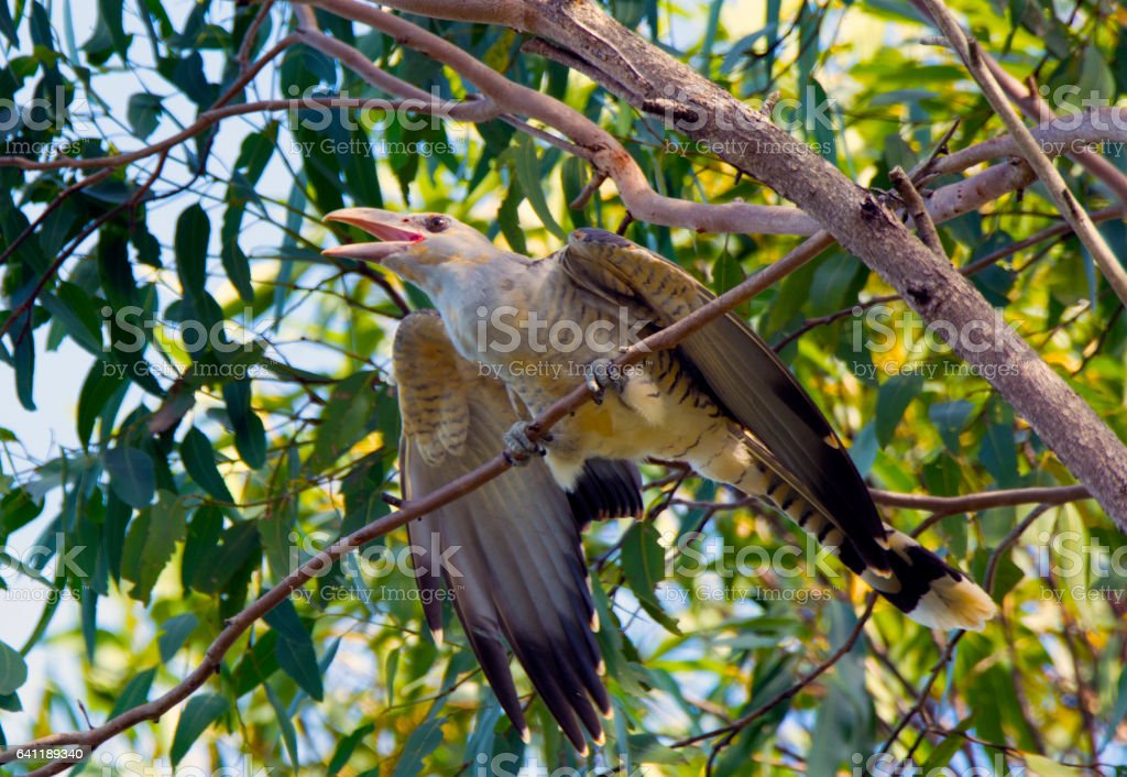 Channel-billed cuckoo parasite maintains it's grasp against raven attacks stock photo