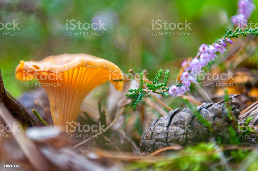 Chanterelle and blooming Heather stock photo