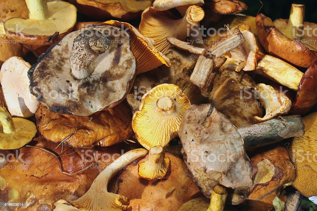 Chanterelle, yellow and red boletus, aspen and birch mushroom - stock photo